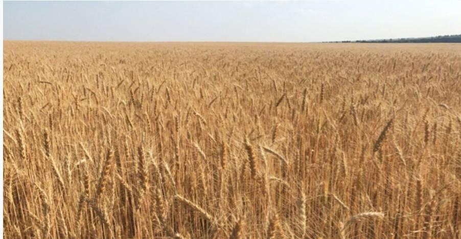 Станет ли Россия мировым лидером экспорта зерна?